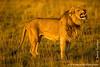 Male African Lion Exhibiting Flehmen Response