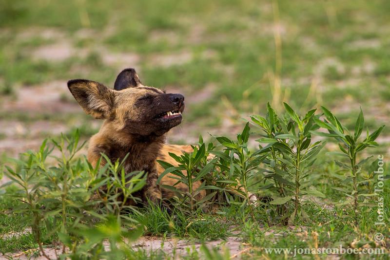 African Wild Dog aka African Painted Dog Yawning