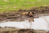 African Wild Dog aka African Painted Dog Cooling Down in the Mud