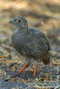 Red-billed Francolin aka Red-billed Spurfowl