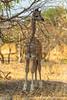 Young South African Giraffe aka Cape Giraffe
