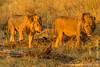 Male African Lion Brothers