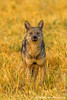 Side-striped Jackal