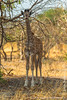 Young South African Giraffe aka Cape Giraffe