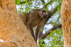 Chacma Baboon aka Cape Baboon