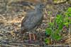 Red-billed Francolin aka Red-billed Spurfowl