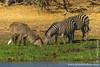 Waterbuck and Burchell's Zebra aka Plains Zebra