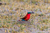Southern Carmine Bee-eater With a Dragonfly