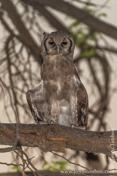 Giant Eagle Owl aka Verreaux's Eagle-owl