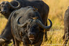 Cape Buffalo aka Southern Savanna Buffalo and Yellow-billed Oxpeckers