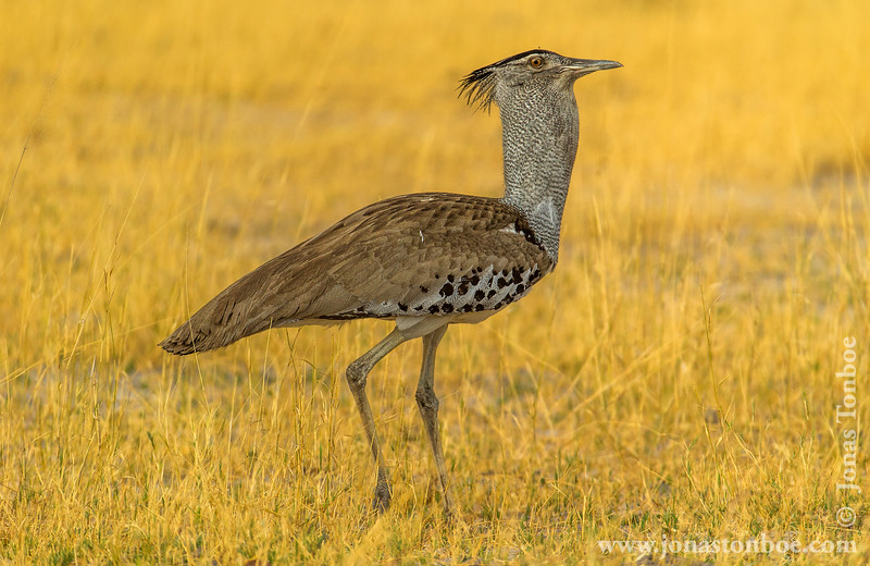 Male Kori Bustard in Mating Display