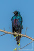 Meves's Long-tailed Starling