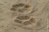 African Lion Tracks in the Sand