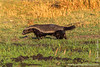 Honey Badger aka Ratel