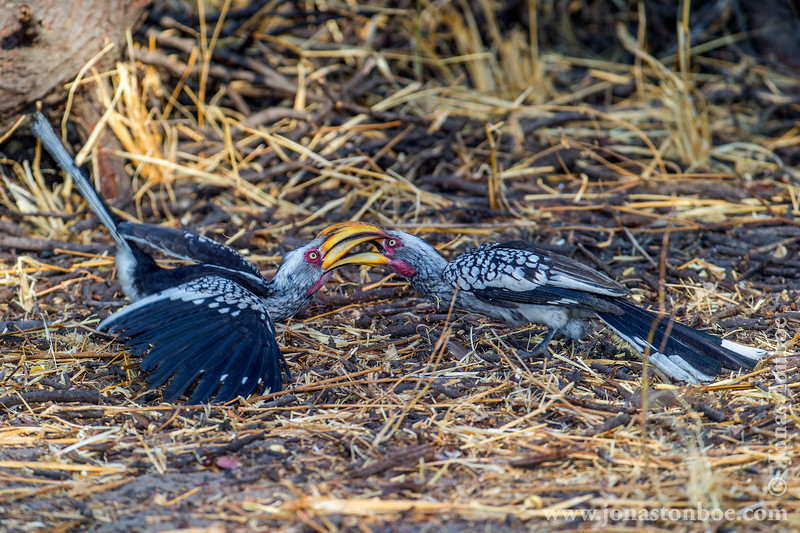 Southern Yellow-billed Hornbill Fighting