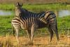 Female and Foal Burchell's Zebra aka Plains Zebra
