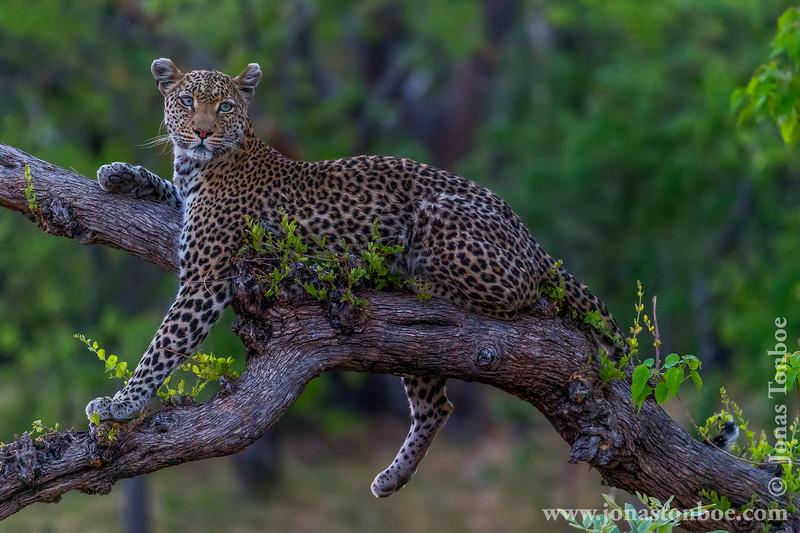 Female African Leopard