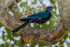 Burchell's Starling