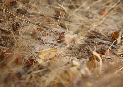 Double-banded Sandgrouse chicks