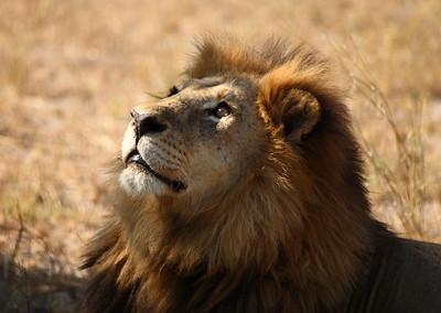 Male Lion in Botswana
