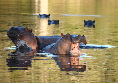Hippos in Morning Light