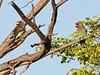 100_8103<br /> Meyer's Parrots