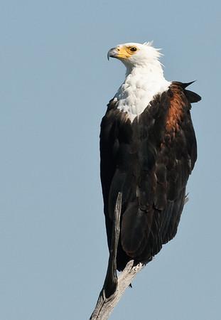 100_8168 Fish Eagle