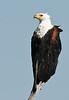 100_8168<br /> Fish Eagle