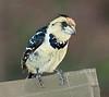 _D3B9193<br /> Crested Barbet