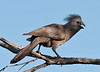 100_8216<br /> African name change from Grey Lourie to Grey Go-away-bird