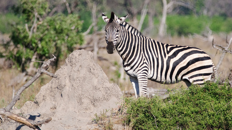 100_5868<br /> Zebra posing with termite hill. Zebras live about 25 years. Termite hills can live 70-100 years.