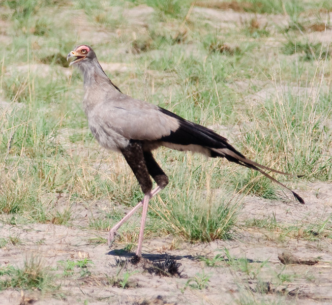 100_5932<br /> Secretary Bird. It appears on the coats of arms of Sudan and South Africa.