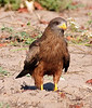 100_5837<br /> Yellow-billed Kite