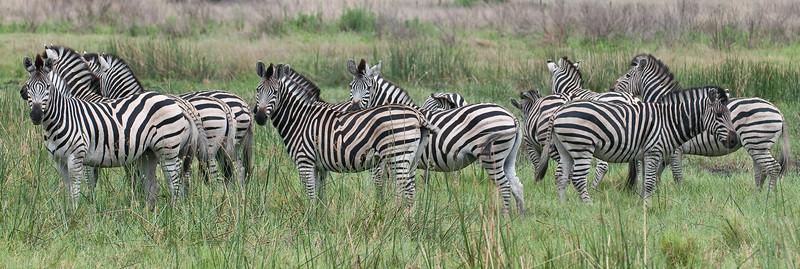 100_6928<br /> A dazzle of zebra in the grasses.