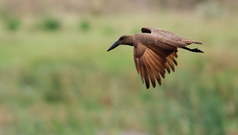 100_6896<br /> Hamerkop, or Hammer-headed Stork