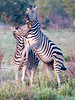 100_5728<br /> Zebras at play.