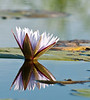 100_7442<br /> Water lily from the mokoro (canoe).
