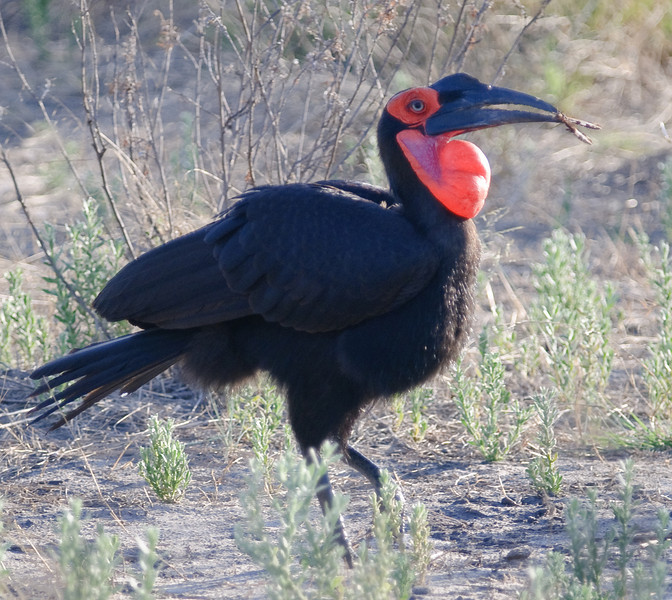 100_5783<br /> Southern Ground-hornbill