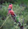 100_5354<br /> Carmine Bee-eaters