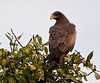 100_5683<br /> Yellow-billed Kite at rest.