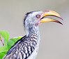 100_5623<br /> Southern Yellow-billed Hornbill. Know as Banana Bird.