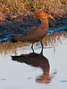 100_6099<br /> Hamerkop, or Hammer-headed Stork