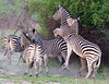 100_7224<br />     *  A zeal of Zebra<br />     * A herd of Zebra<br />     * (And of course) A dazzle of zebra