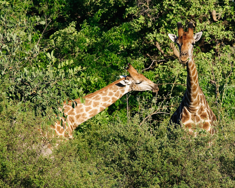 "100_6094<br /> Two or more Giraffes standing is called a ""Tower"". If they are moving they are called a ""Journey""."