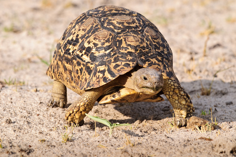 100_7169<br /> Leopard tortoise. They generally have a life span of 100 years.