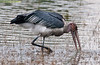 100_5327<br /> Marabou Stork, standing up to 1.5 m tall and weighing nearly 9 kg, is one of the largest flying birds in the world.