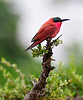 100_5343<br /> Carmine Bee-eater