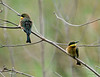 100_5381<br /> Little Bee-eaters