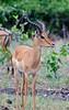 100_5261<br /> Impala antelope