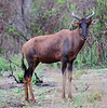 100_6875<br /> Common Tsessebe Antelope. They have the reputation of being the fastest of all antelopes in Africa.